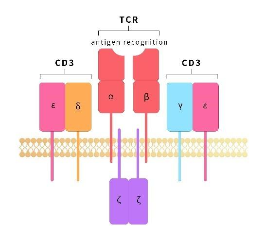 2_CD3-targeted therapeutic antibody.jpg