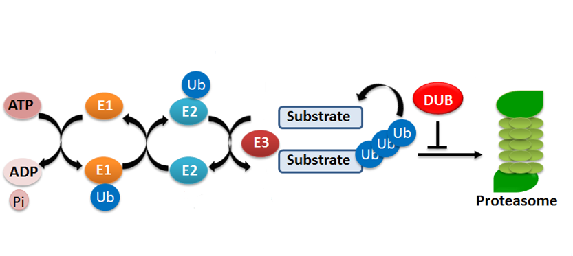 The ubiquitylation reaction is a sequential process mediated by three enzymes.png