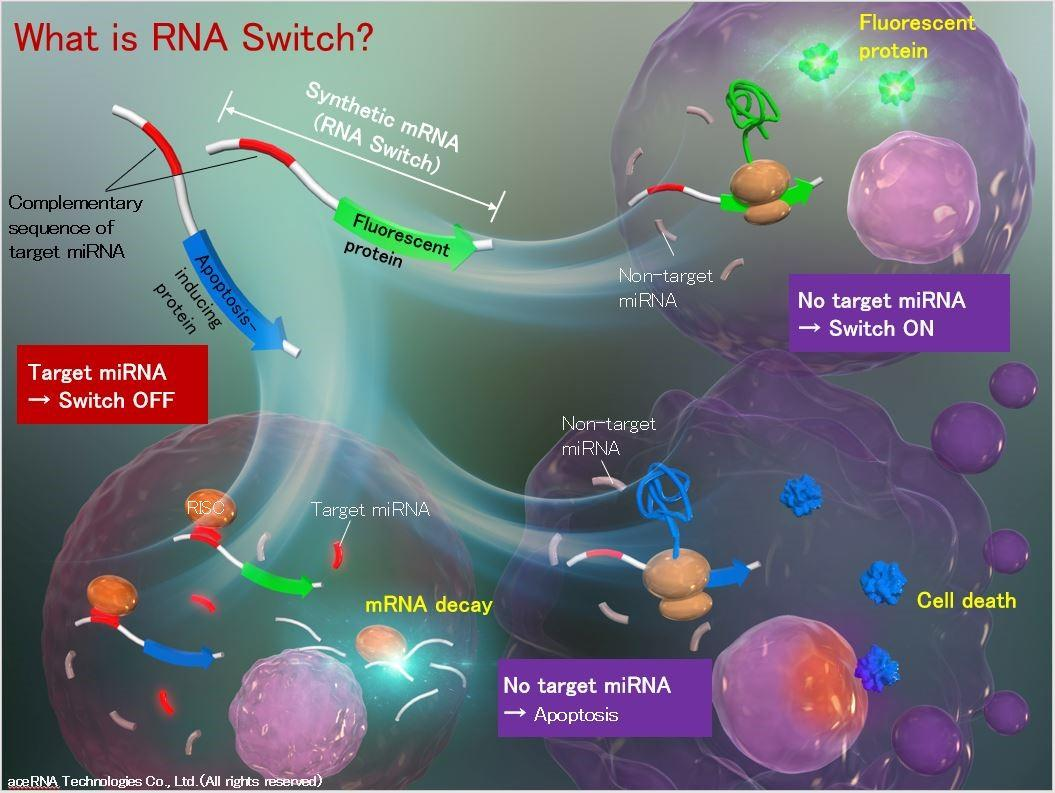 What is RNA Switch.jpg