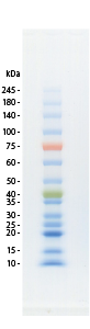 protein_ladder_one_plus_siyourei1_3.png